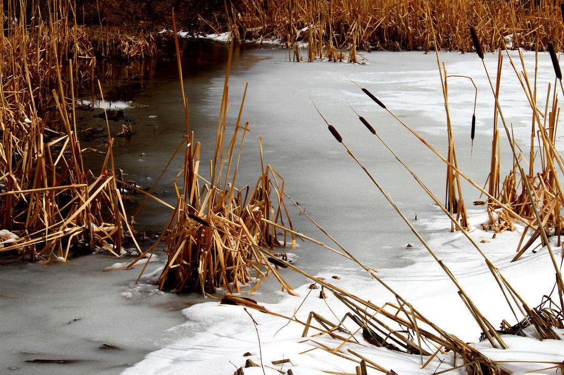 Cattail Cold Temperature Frozen Catt Frozen Pond Grass Ice Icy Ponds Mountain Village Reflection Snow Telluride Water
