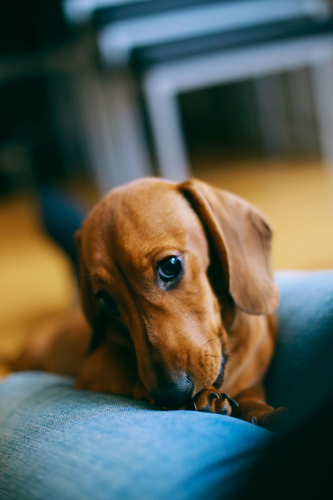 Hey Animal Themes At Home Bonding Close-up Dachshund Day Dog Domestic Animals Home Interior Indoors  Licking Mammal No People One Animal Owner Paw Pet Puppy Puppy Love Sitting Together