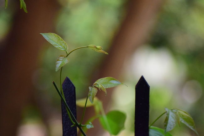 Growing....... Beauty In Nature Beginnings Bokesh Botany Bud Close-up Defocused Detail EyeEm Best Shots Focus On Foreground Green Green Color Growing Leaf Leaves Minimalism Minimalist Nature New Life No People Plant Selective Focus Stem Tranquility Twig