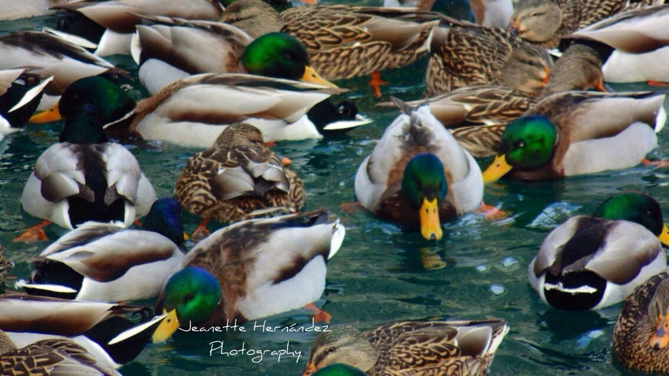 Ducks Cold Water Taking Photos