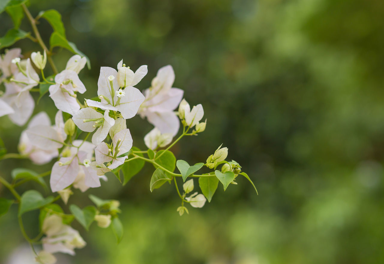 Close-Up Of White Flowers On Tree