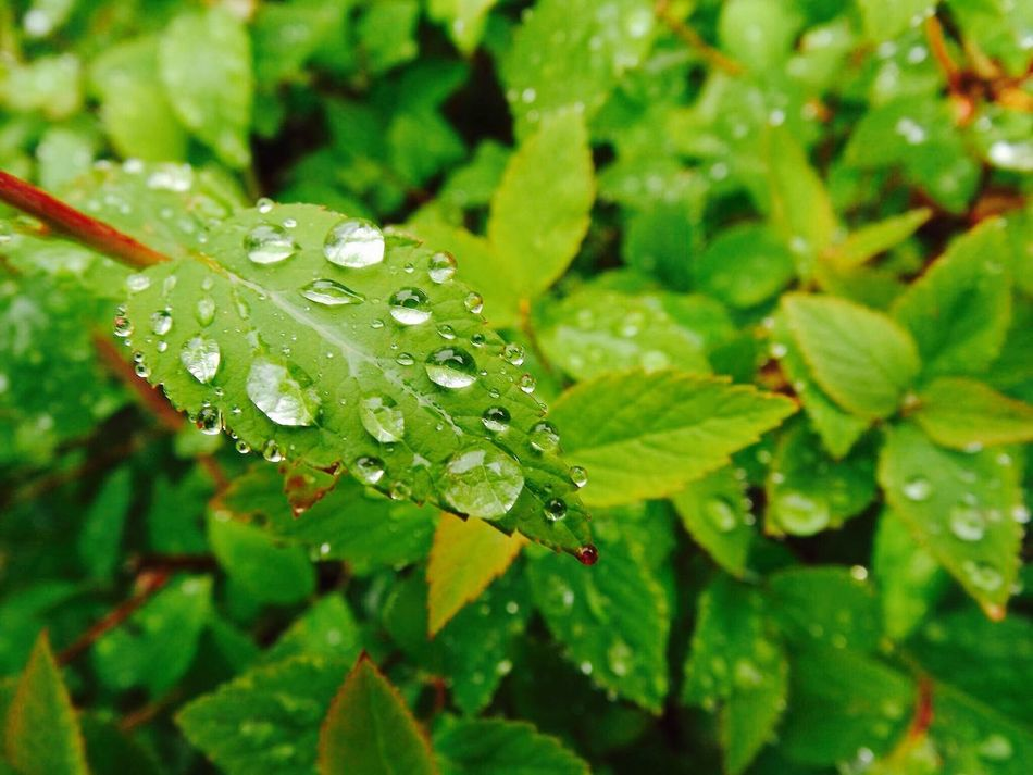Drop Leaf Water Wet Green Color Nature RainDrop Close-up Focus On Foreground Plant Leaves Rain Drops On Leaves Rainy Days Rain Rain Drop Rain Drops Macro Macro Photography EyeEmNewHere