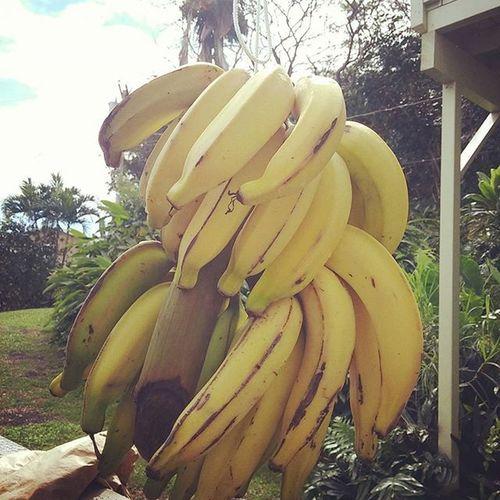 Breakfast is ready! Bananas Shitsfresh Aloha Fruitfromtheland Fruitfromhome CountryLivinG