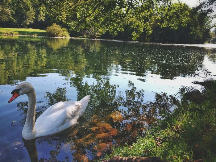 Water Reflection Lake Animal Themes Nature Animals In The Wild Tree Swimming Animal Wildlife One Animal No People Day Floating On Water Outdoors Growth Water Bird Beauty In Nature Bird Swan Close-up