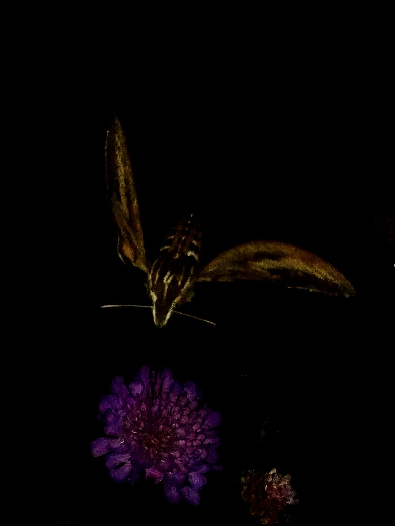 Nighttime Moth Shutter Speed Luckyshot Insect Outdoors Nature Flower Insects And Flowers