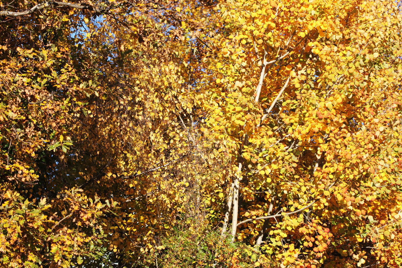 autumn, tree, leaf, nature, change, beauty in nature, growth, outdoors, yellow, forest, scenics, tranquil scene, day, no people, branch, tranquility, plant, close-up, freshness