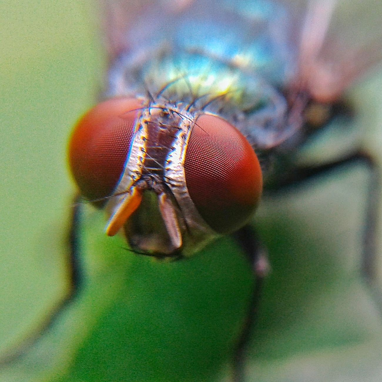 Fly Macro Macro Photography Macroinsects Macroinsect Macro_bugs Macro_collection Macroclique Macro_captures Macroporn Macroshot Macrophotography