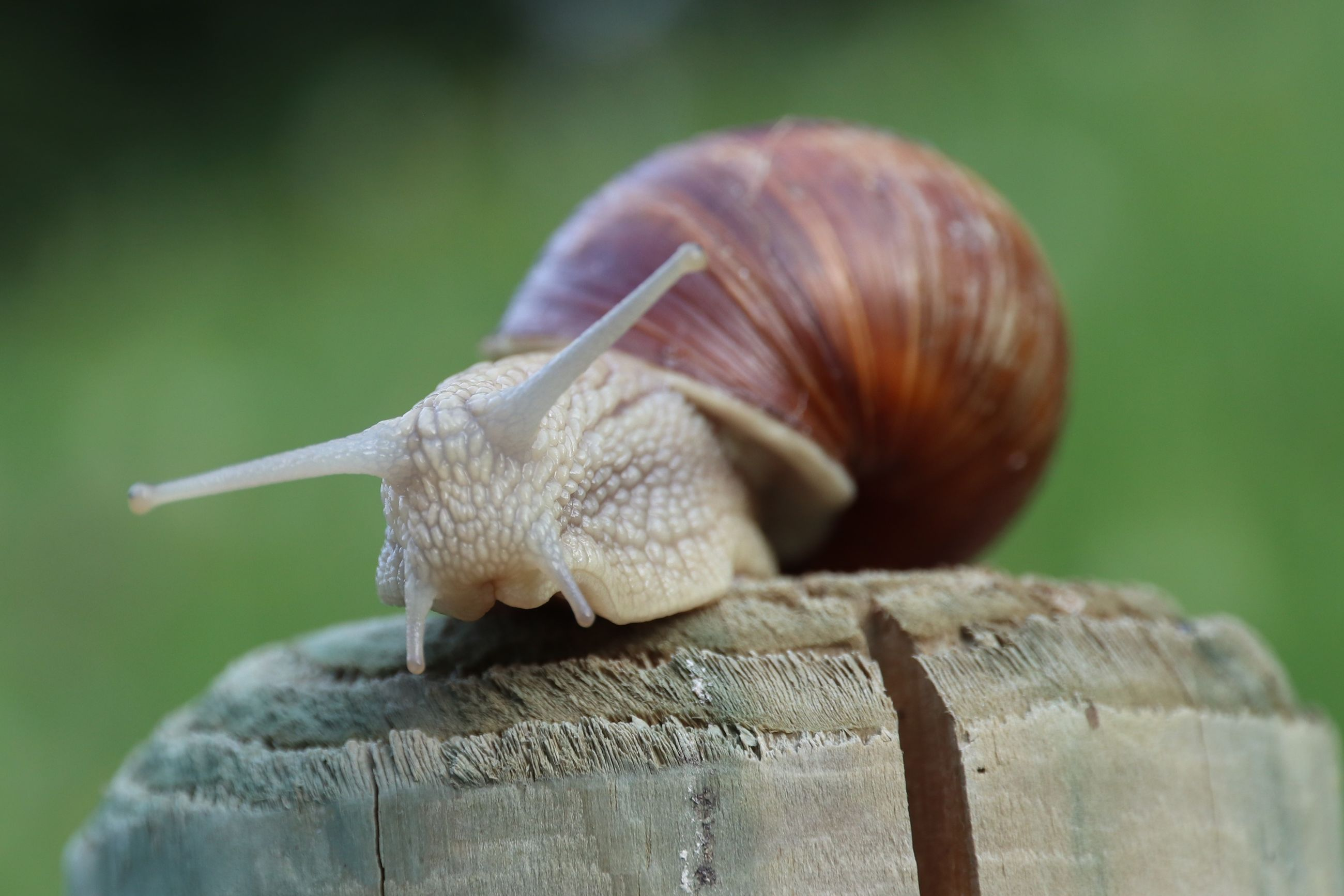 Animal Themes Focus On Foreground Snail Vineyard Snail