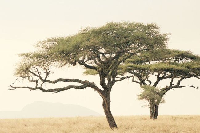 Acacia Tree Africa Africa Scenery Beauty In Nature Big Cat Branch Countryside Isolated Landscape Leopard Leopard In A Tree Nature No People Scenics Serengeti Serengeti National Park Serengeti, Tanzania Sky Tranquil Scene Tranquility Tree Tree Trunk