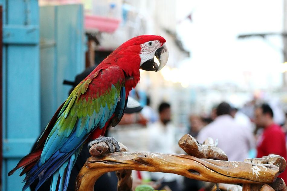 Cute Birds  Cute Pets Parrots Exotic Creatures Exotic Pets Street Vendors Shopping Streets Vendors Qatar Doha Souq Waqif Middle East Animal Traffic Up Close Street Photography Selling On The Street Travel Destinations Focus On Foreground Close Up Birds The Street Photographer - 2016 EyeEm Awards