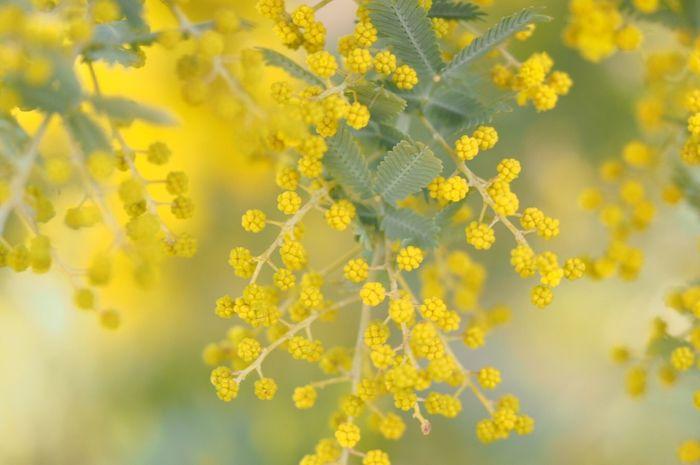 ミモザ 春です(*´˘`*)♡ yelloYelloweFlowerrNaturetBeauty In NatureyEnjoying LifemEyeEm Nature LovermEyeEm Best ShotsnGreen NaturenSpringnSpring Flowers