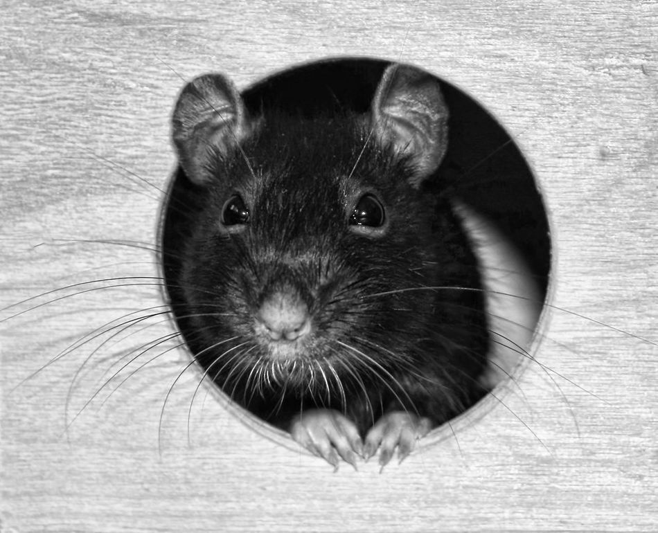 Vacak in the house Animal Head  Animal Themes Black And White Domestic Animals House Looking At Camera Pet Rat