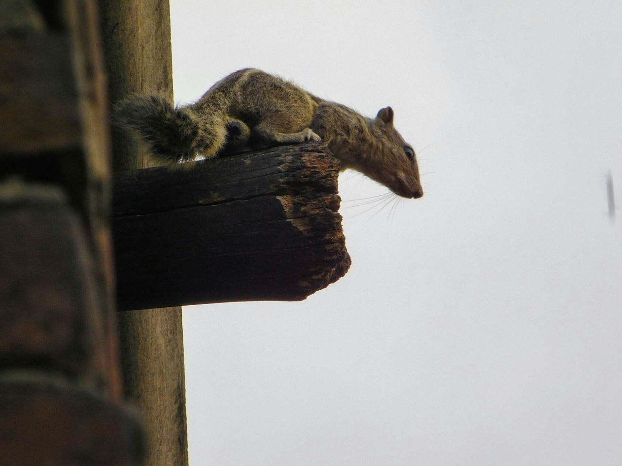Low Angle View Of Squirrel On Wood Against Clear Sky