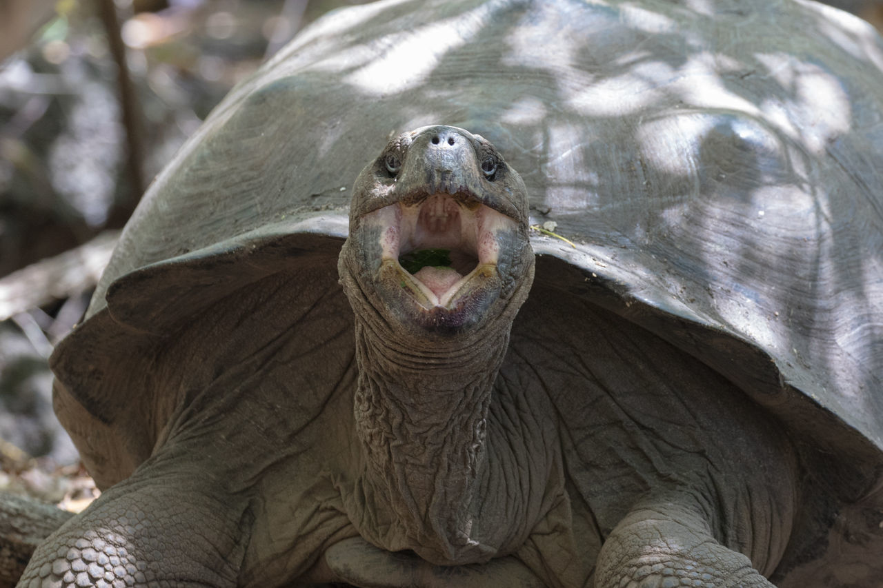 Animal Close-up Galapagos Islands Giant Tortoise Isabela Island Mouth Open Nature No People One Animal Outdoors Riesenschildkröte Turtle