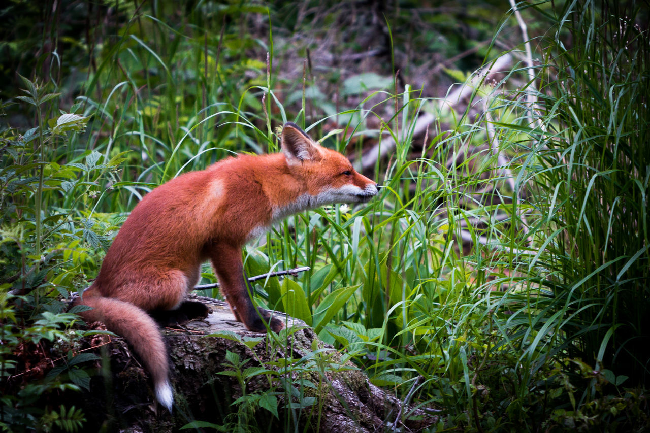 one animal, animals in the wild, animal themes, animal wildlife, mammal, red, nature, outdoors, grass, no people, fox, day, close-up