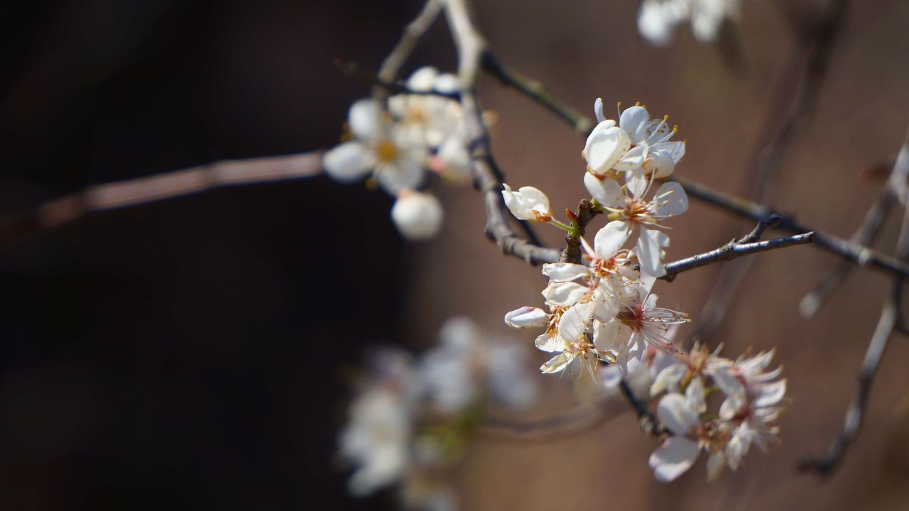 flower, fragility, beauty in nature, white color, growth, nature, blossom, springtime, tree, freshness, apple blossom, twig, petal, apple tree, close-up, branch, botany, orchard, plum blossom, selective focus, day, flower head, no people, pollen, outdoors