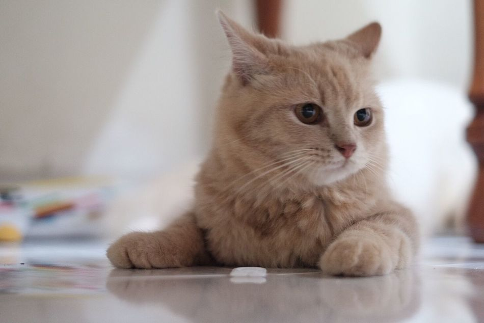 Kucing (cat) Domestic Cat Pets Indoors  Mammal Domestic Animals Feline Cat Animal Themes One Animal Whisker Sitting Portrait No People Close-up Day
