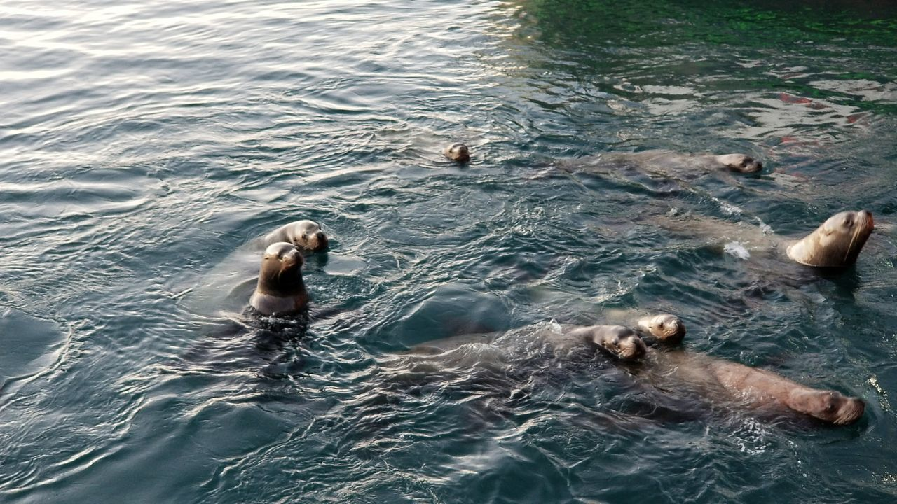 Wildlife Tranquility Voyageur Country Imaging Kodiak Alaska Outdoors Photography Dock Harbor Commercial Fishing Trawler Pacific Seafood Island Seafood St Paul Harbor Sea Lions Nature Day Sea Fish Reflection Mammal Swimming Water