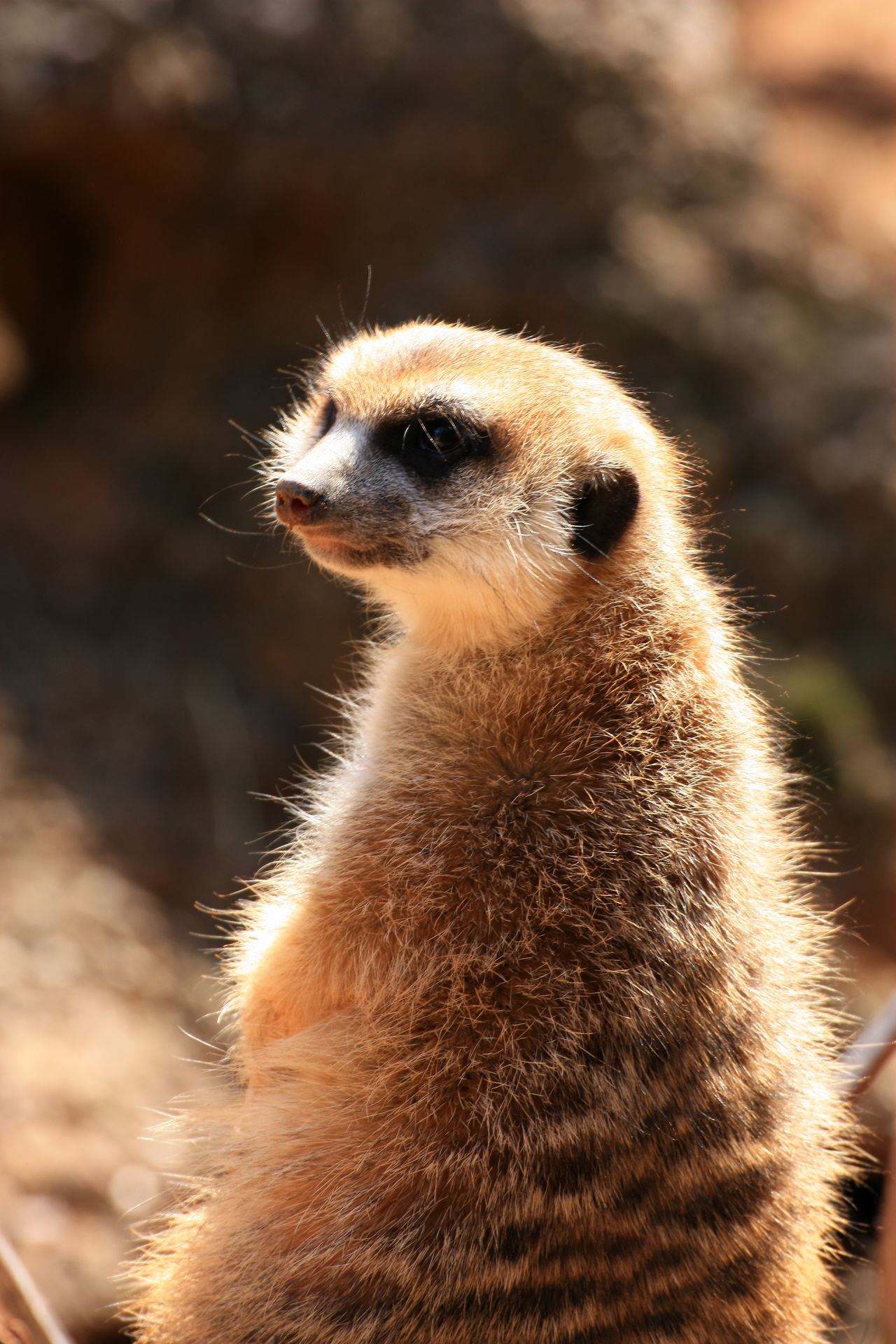 Animal Themes Animal Wildlife Animals In The Wild Close-up Day Focus On Foreground Mammal Meercat  Nature No People One Animal Outdoors Portrait Wildlife Reserve Meerkat