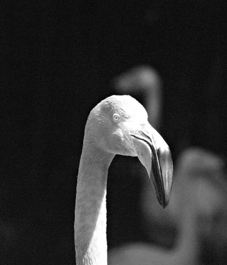 Flamingos Up Close Flamingo Photography Flamingo At The Zoo Flamingo B&w Photography B&w Photo B&w Nature B&W_collection Black And White Portrait Black And White Collection  Black & White Beauty In Nature B&w Black And White Photography Black And White Bird Photographer Bird Photos Bird Photograpy Bird Watching Bird Photography Wetlands Marshlands Beach Life