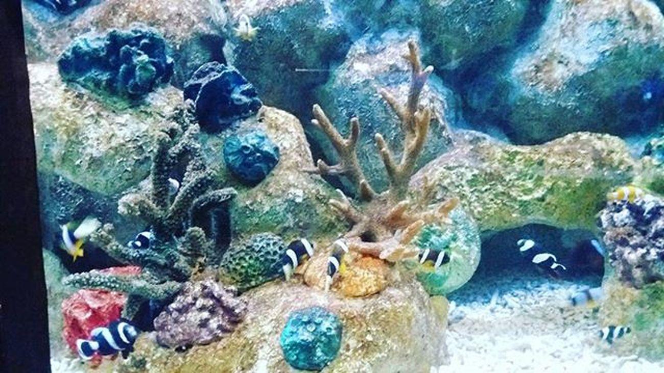 Nemo!! 😆😆 Clownfish Nemo Manilaoceanpark Latepost Selcam Ynasadventure Photographie  Photography Photograph Instaphoto Instapic Coralreef Trip Aquarium Fish Instaanimal Instafish