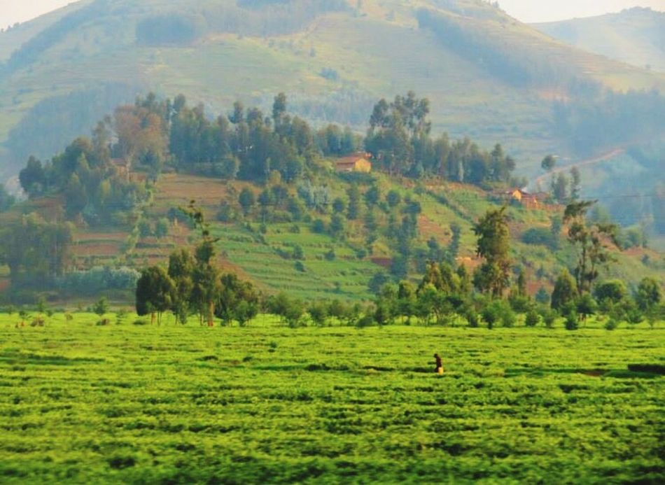 Rwanda Tree Nature Tranquil Scene Agriculture Green Color Rural Scene Beauty In Nature Outdoors Scenics