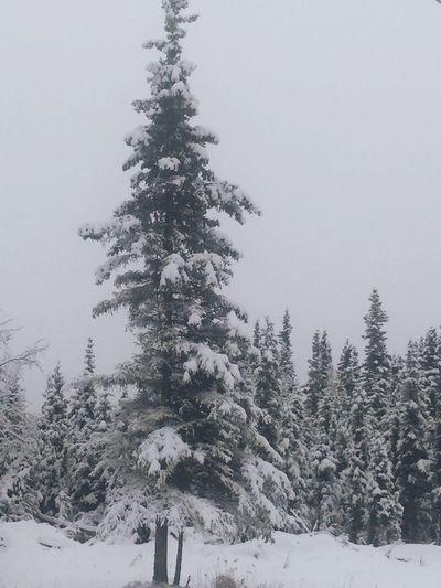Trees snow backyard Alaska