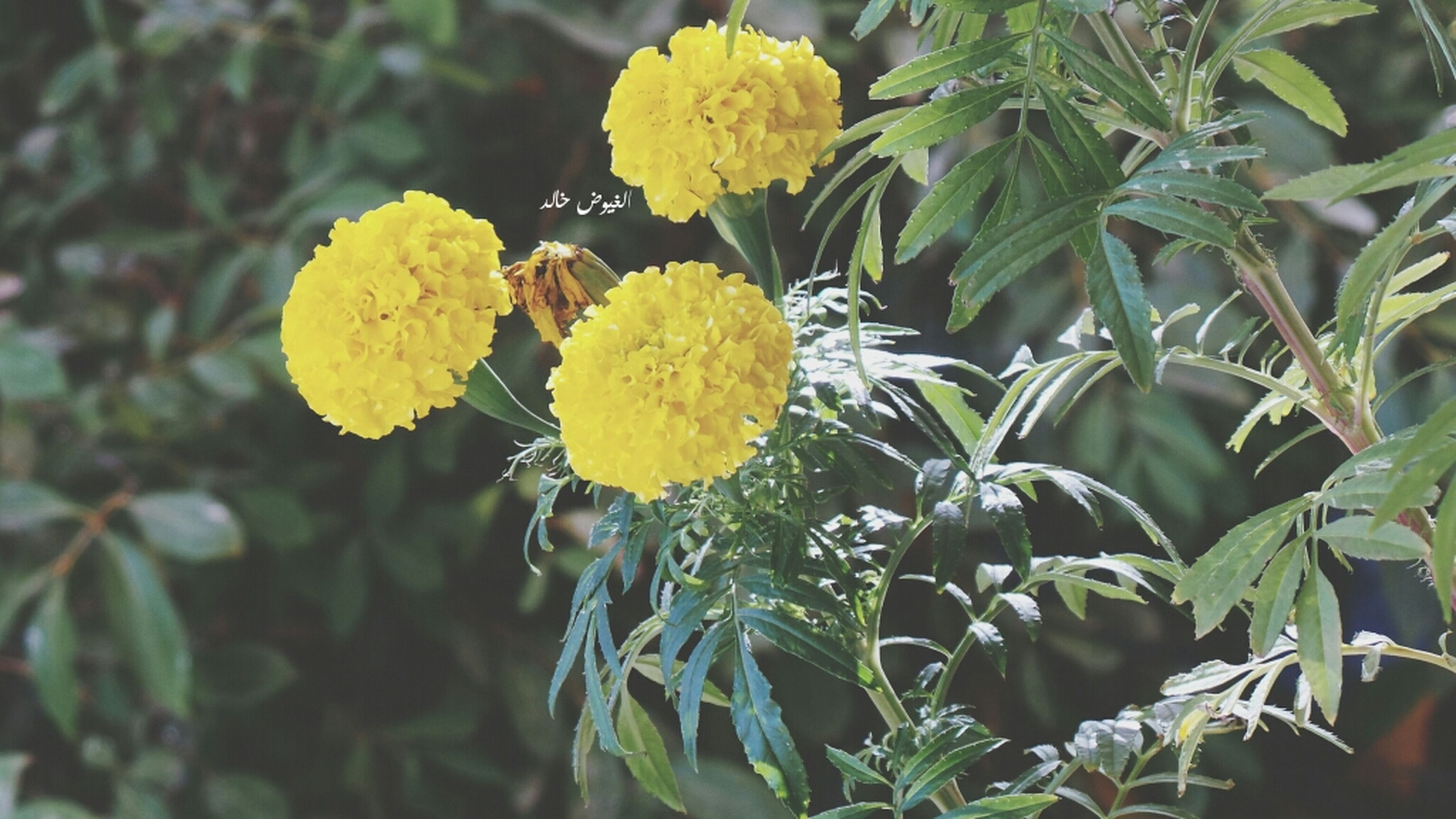 yellow, flower, freshness, growth, fragility, leaf, petal, plant, beauty in nature, nature, close-up, flower head, focus on foreground, blooming, green color, day, outdoors, in bloom, no people, botany