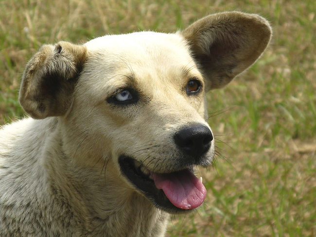 Animal Themes Close-up Day Dog Domestic Animals Looking At Camera Mammal Nature No People One Animal Outdoors Pets Portrait Two Colored Eyes Stray Animal North India