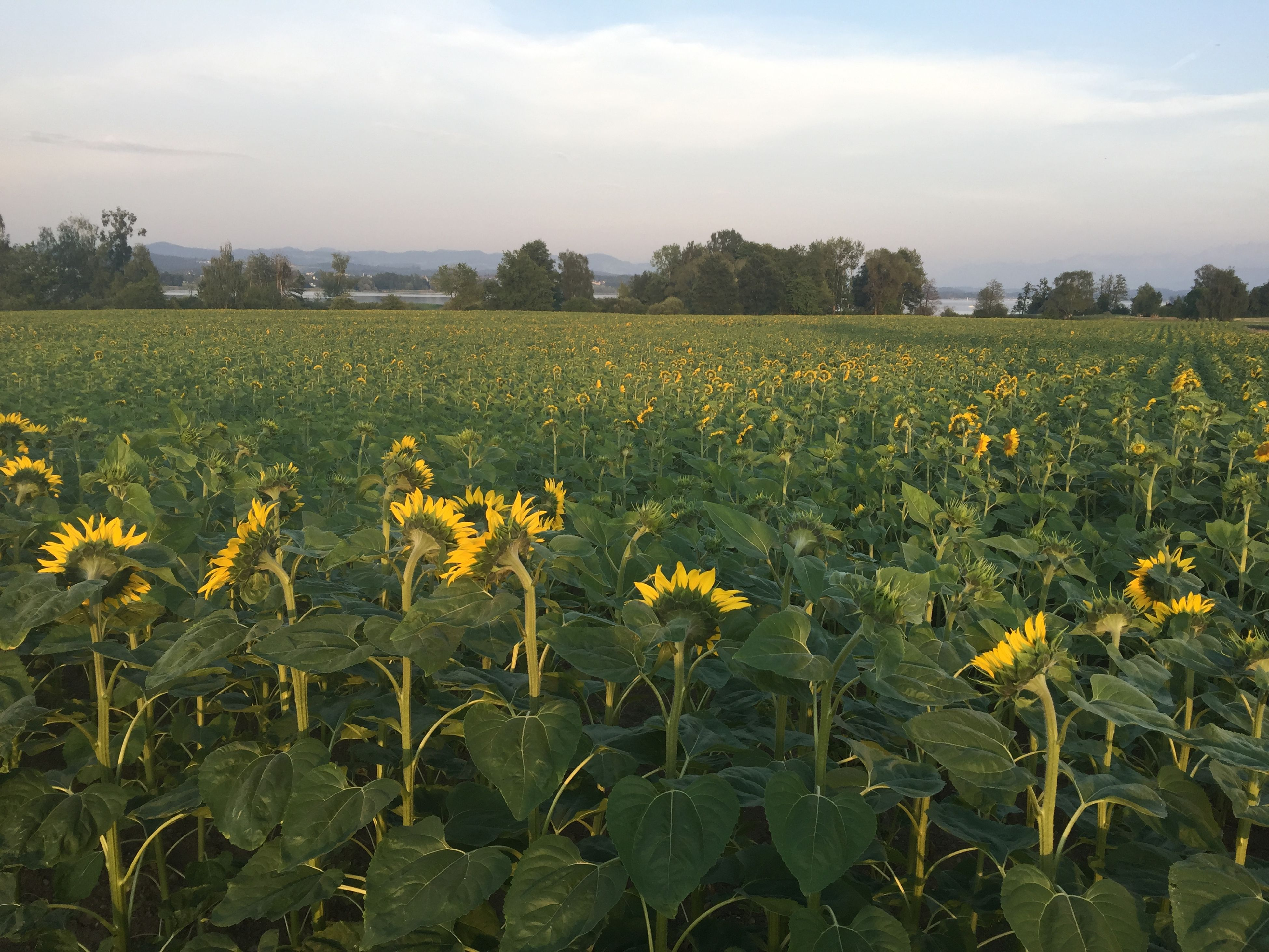 flower, yellow, growth, field, freshness, beauty in nature, rural scene, agriculture, nature, sky, landscape, fragility, farm, plant, tranquil scene, tranquility, blooming, oilseed rape, crop, scenics