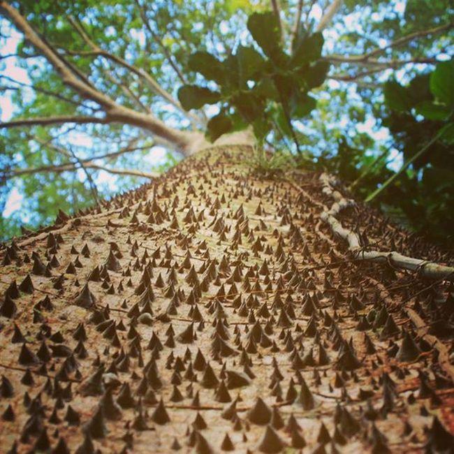 ¡Ascendencia de espinas! Ceiba Alturas Natural Sagrado Ceremonial Chaman DiosesOcultos CeibaTree Ceremonials Picofday Green Elevation NaturalsGod