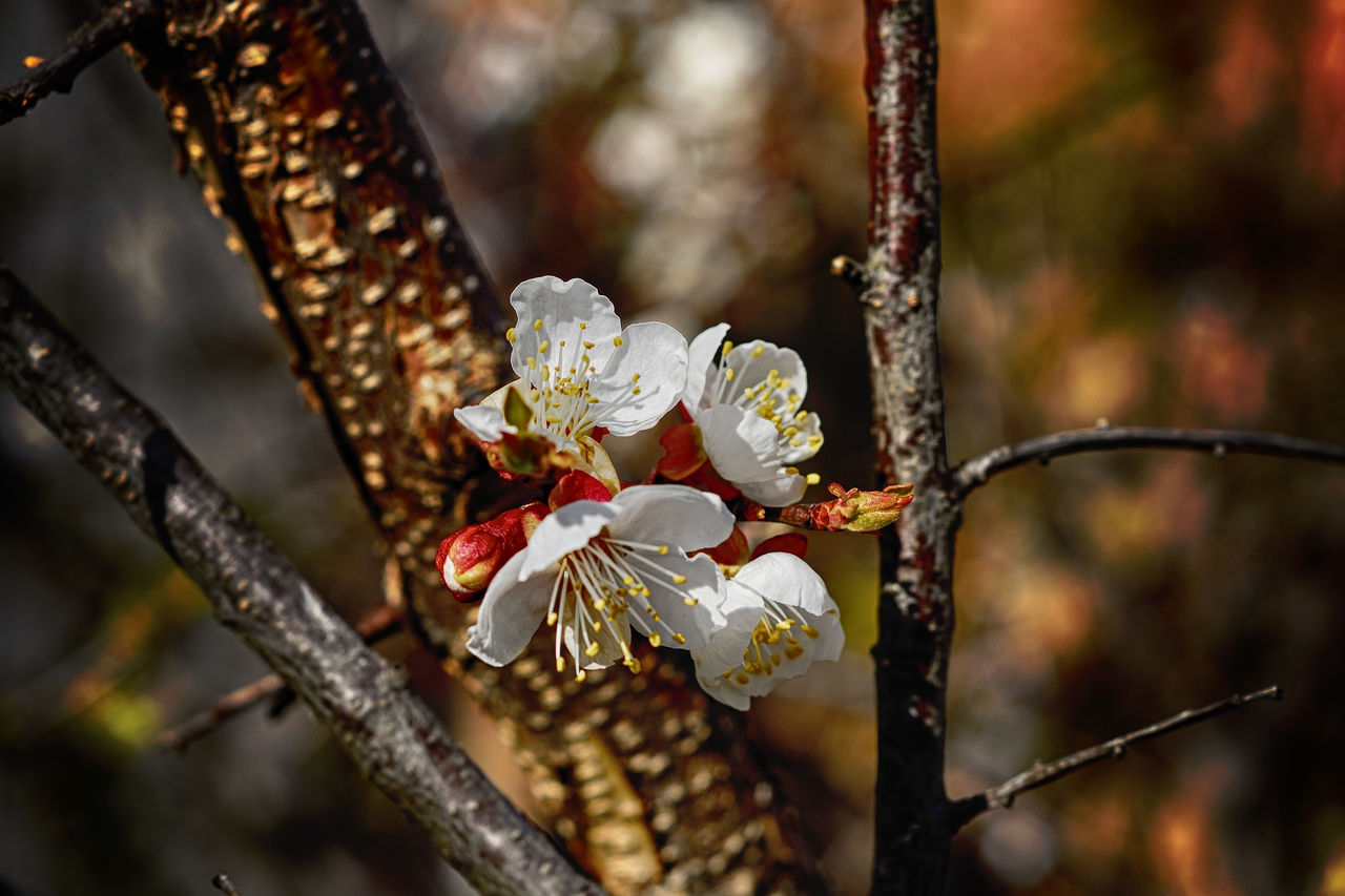 Apricot Apricot Blossom Apricot Flowers Apricot Tree Beauty In Nature Blossom Branch Close-up Day Flower Flower Head Focus On Foreground Fragility Freshness Growth Nature No People Outdoors Petal Springtime Tree Twig White Color