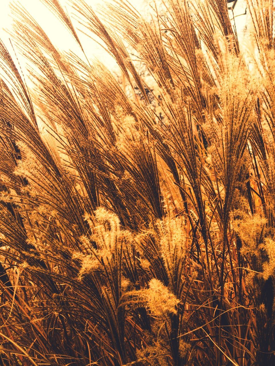 growth, agriculture, nature, field, plant, outdoors, tranquility, no people, day, tranquil scene, cereal plant, beauty in nature, grass, wheat, rural scene, backgrounds, close-up