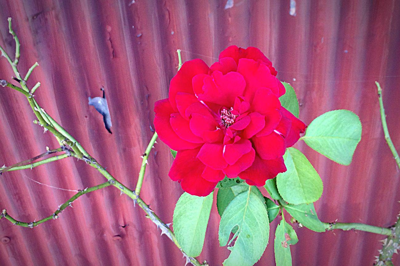 赤い花 EyeEm Nature Lover Nature Enjoying Life Beautiful Flower VariousColors