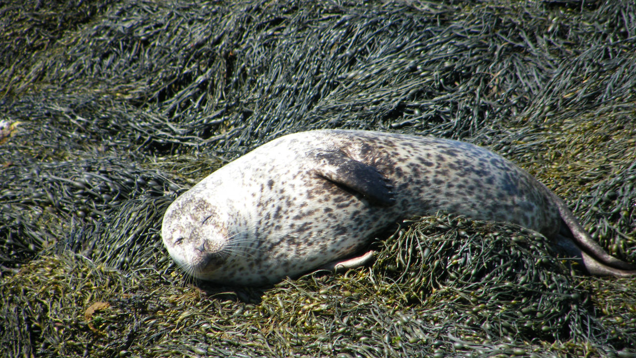 Animal Themes Animal Wildlife Animals In The Wild Common Seal Day Dunvegan Isle Of Skye Loch Dunvegan Mammal Nature No People Outdoors Scotland Sea Life Sea Mammal Sea Shore Seals Seals On Beach Seals On The Sea Shore
