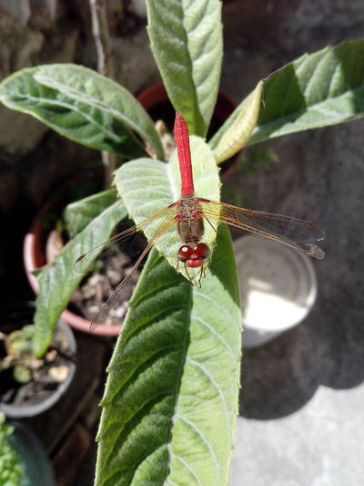 Day Dragonfly Insect Leaf No People Plant Red Urban Insects