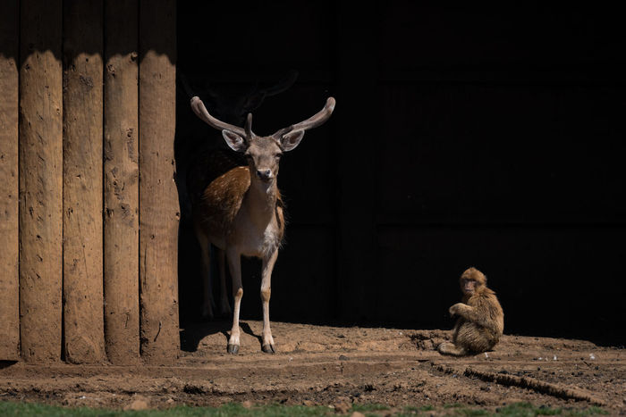 Animal Animal Themes Animal Wildlife Animals In The Wild Dama Dama Day Deer Fallow Deer Looking At Camera Macaca Mulatta Macaque Mammal Mammals Nature Nature No People Outdoors Portrait Rhesus Macaque Stag Standing Wildlife