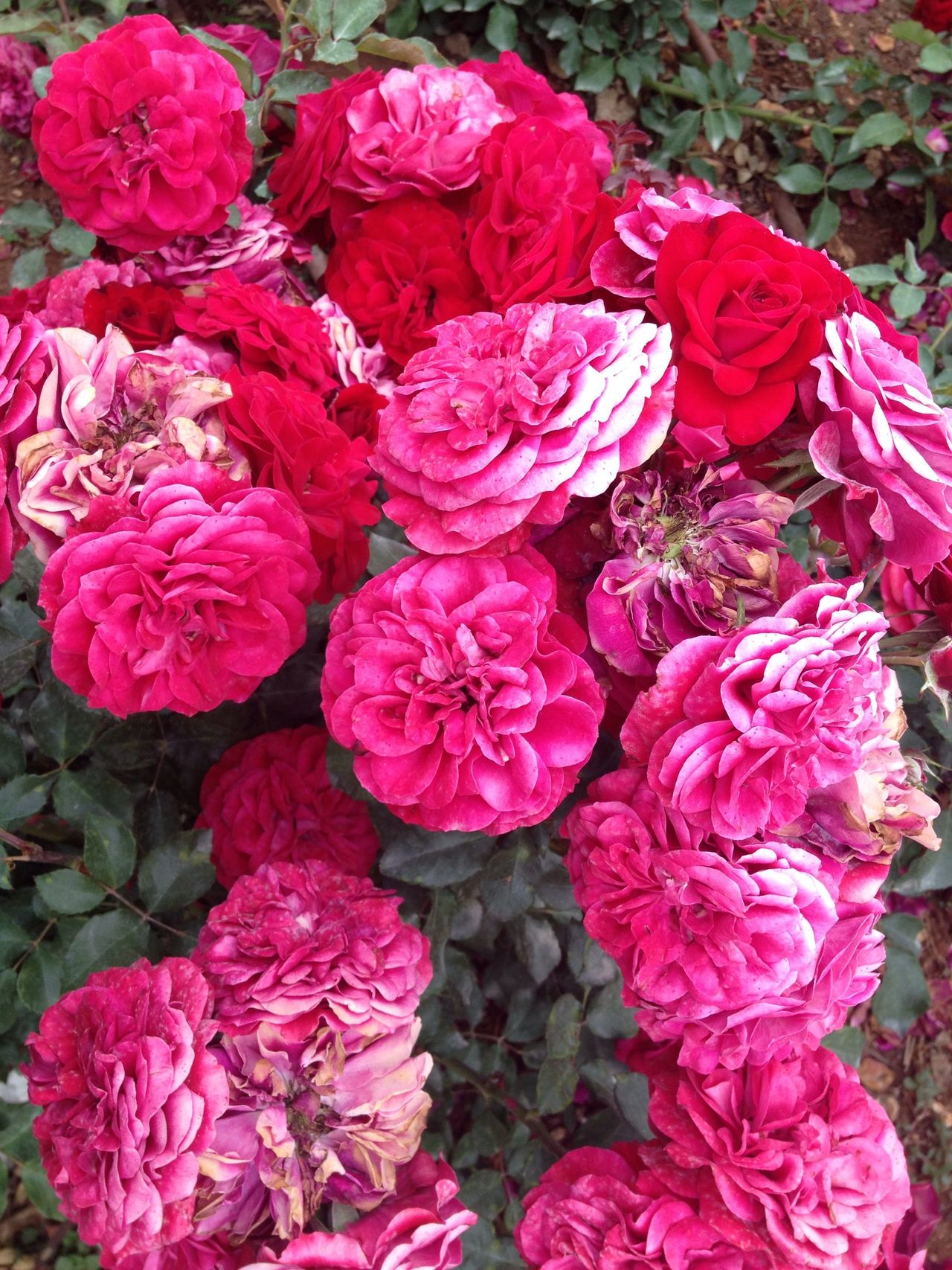 Beauty In Nature Roses Growth No People Outdoors