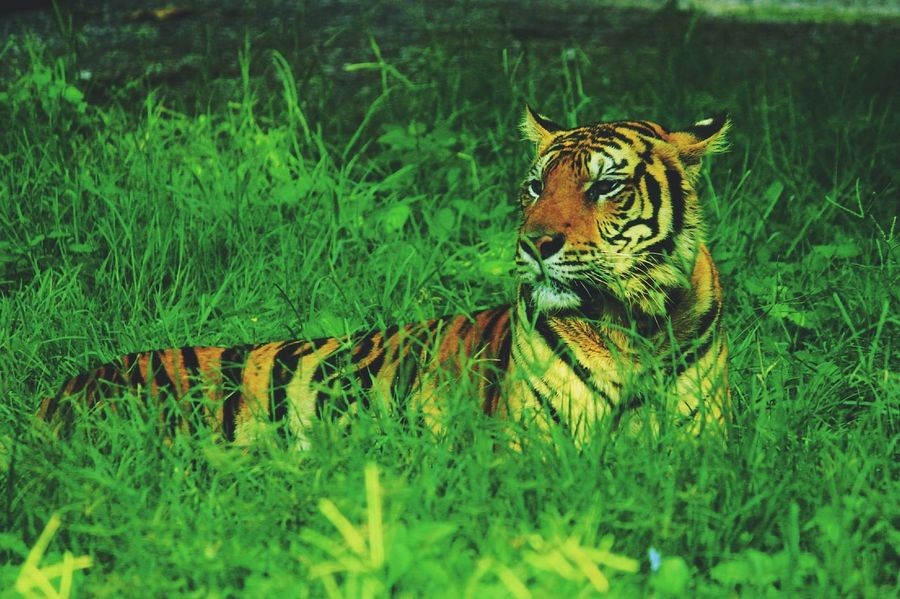 The bangal Tiger // Catfamily Bigcat Wildlife Summer Nature Animal Cat Canon