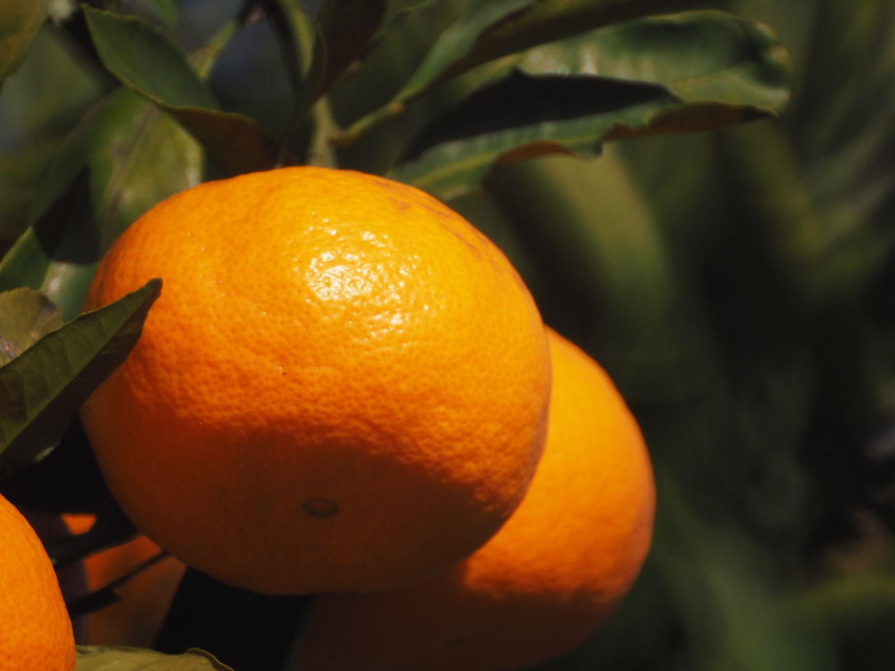 手持ち400mmでブレなかったからup,ただのミカンです(笑)。Orange - Fruit Citrus Fruit Mirrorlens Taking Photos Taking Pictures 400mm Orange Color Fruit Orange Tree