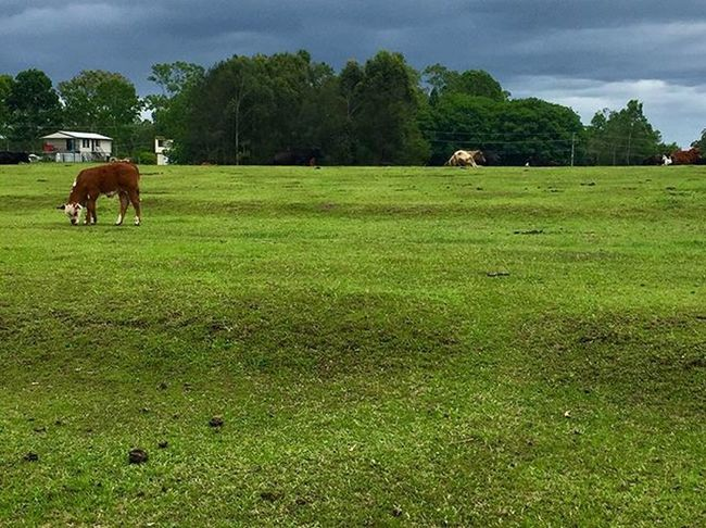 Australia Queenslander Outdoors Brisbane Cow Greenpastures Stormysky Bethania