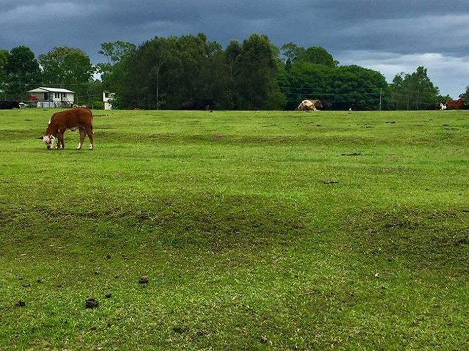 Australia Queenslander Outdoors Brisbane Cow Greenpastures Stormysky Bethania