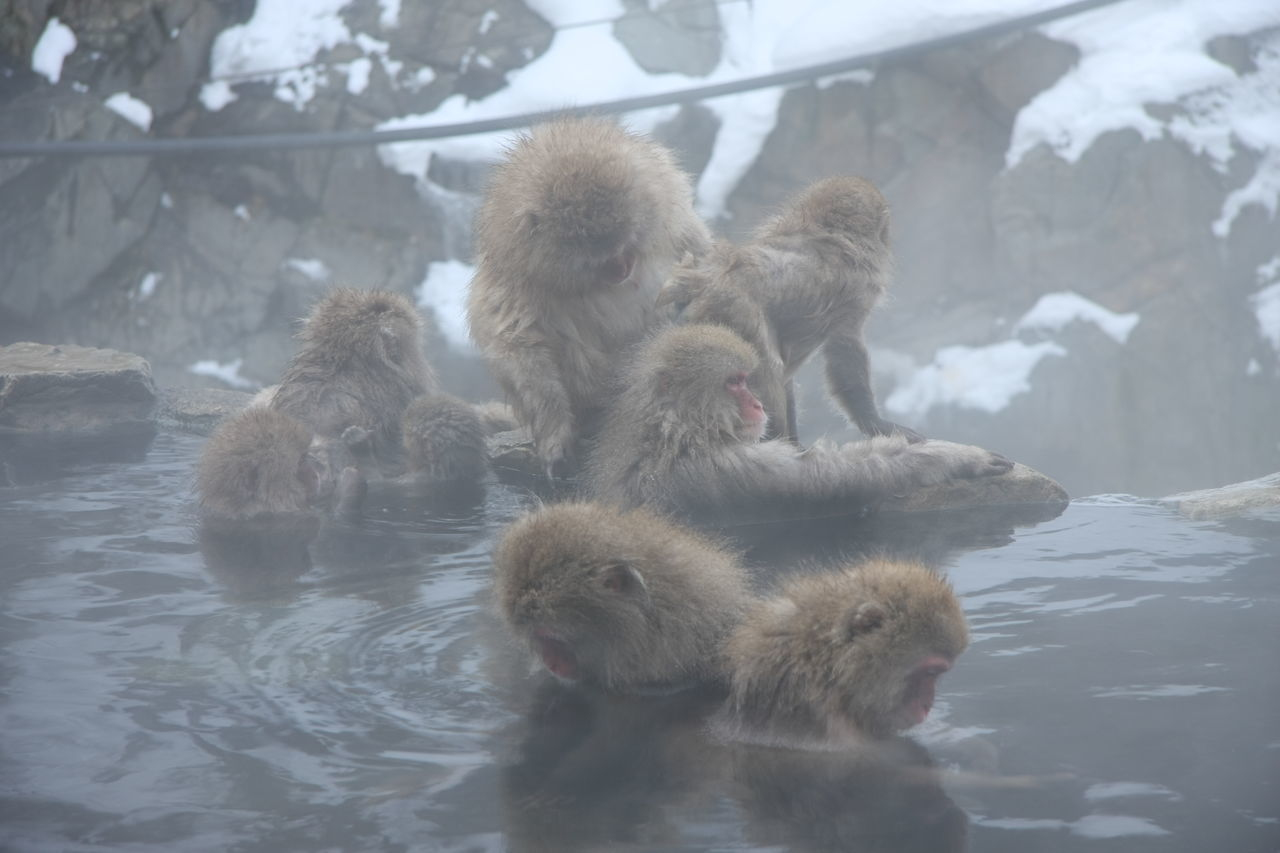 Ahhhh... Animal Themes Animal Wildlife Animals In The Wild Cold Temperature Feel Good Hot Spring Hotsprings Japanese Hot Springs Japanese Style Monkey Monkeybussiness Monkeys Nature No People Oh This Feels Good! Oh This Melts Me Down Oh This Melts Me Down.. Outdoors Snow Togetherness