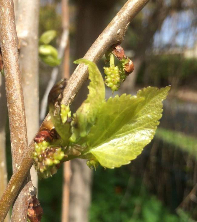 Springtime Mulberry Tree