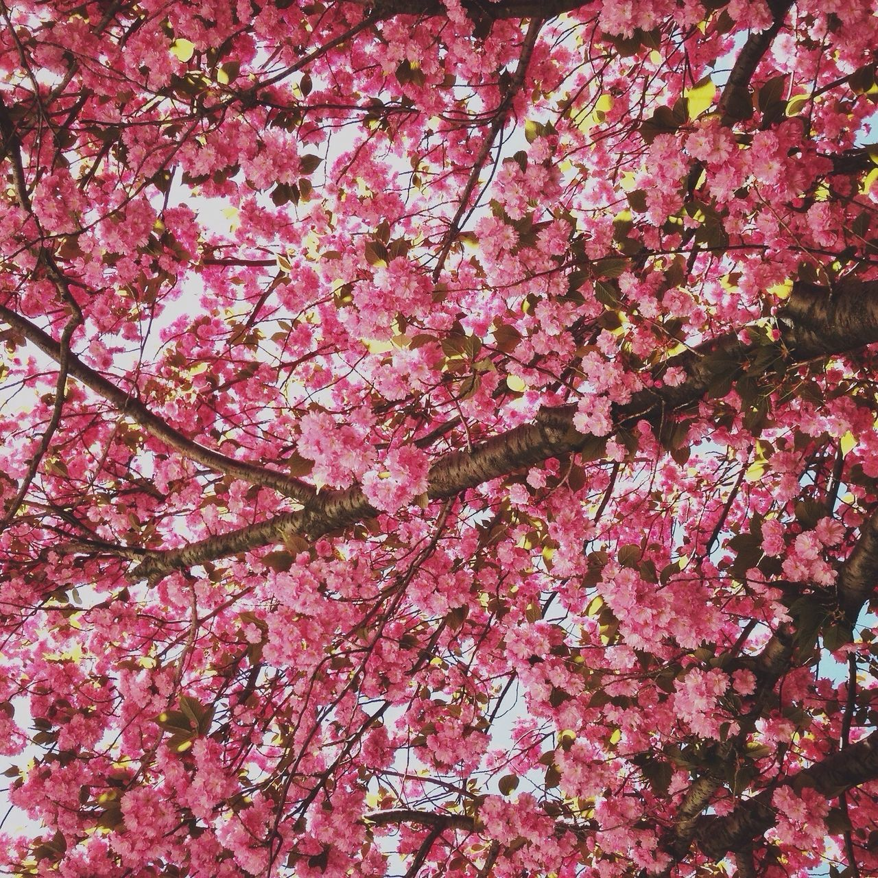 Beautiful stock photos of cherry, Backgrounds, Branch, Cambridge, Cherry Blossom