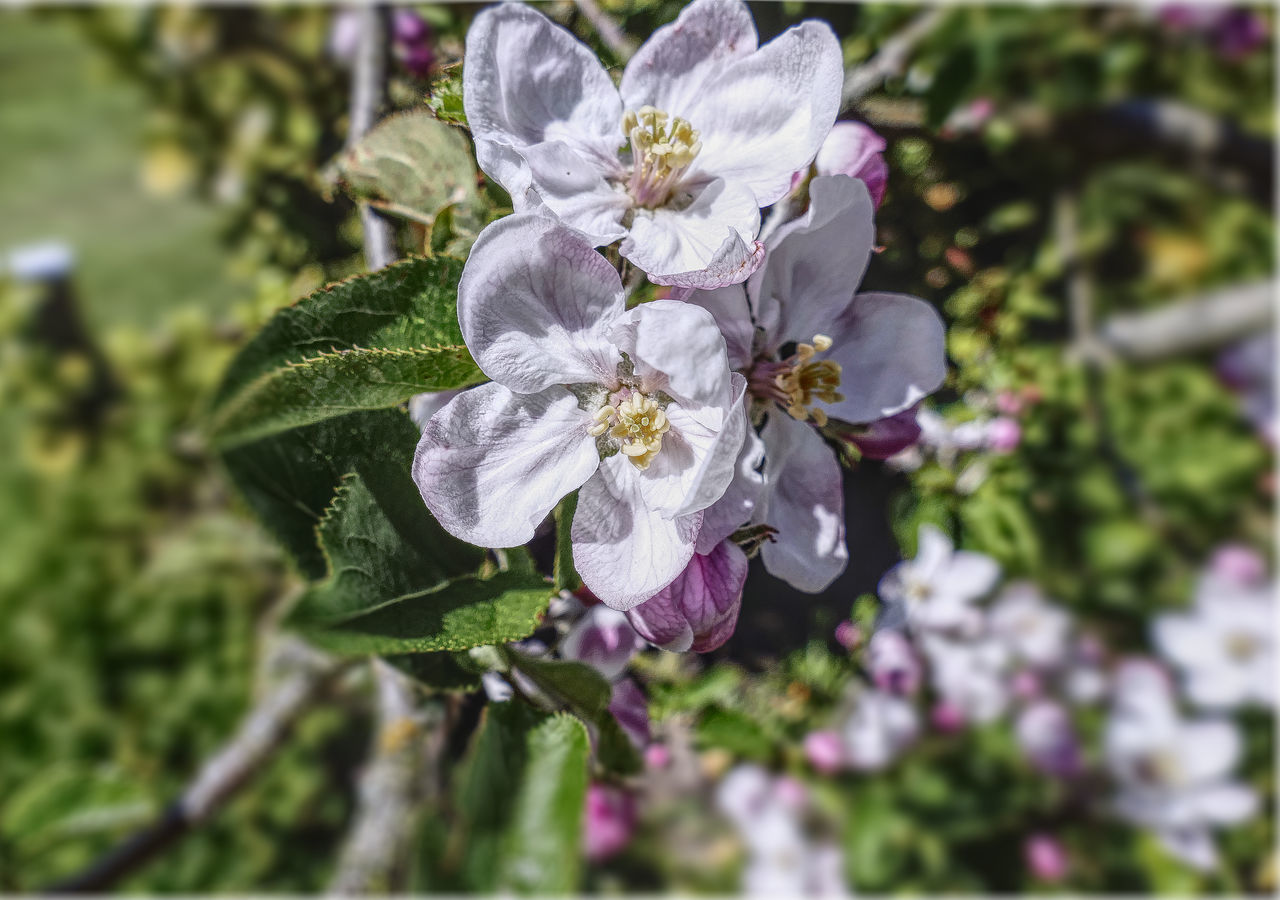 apple blossom Affinity Photo Apple Blossom Beauty In Nature Blooming Blooming Flower Close-up Closeup Day Flower Flower Head Fragility Freshness Growth Leaf Nature No People Outdoors Petal Plant Tonemapping