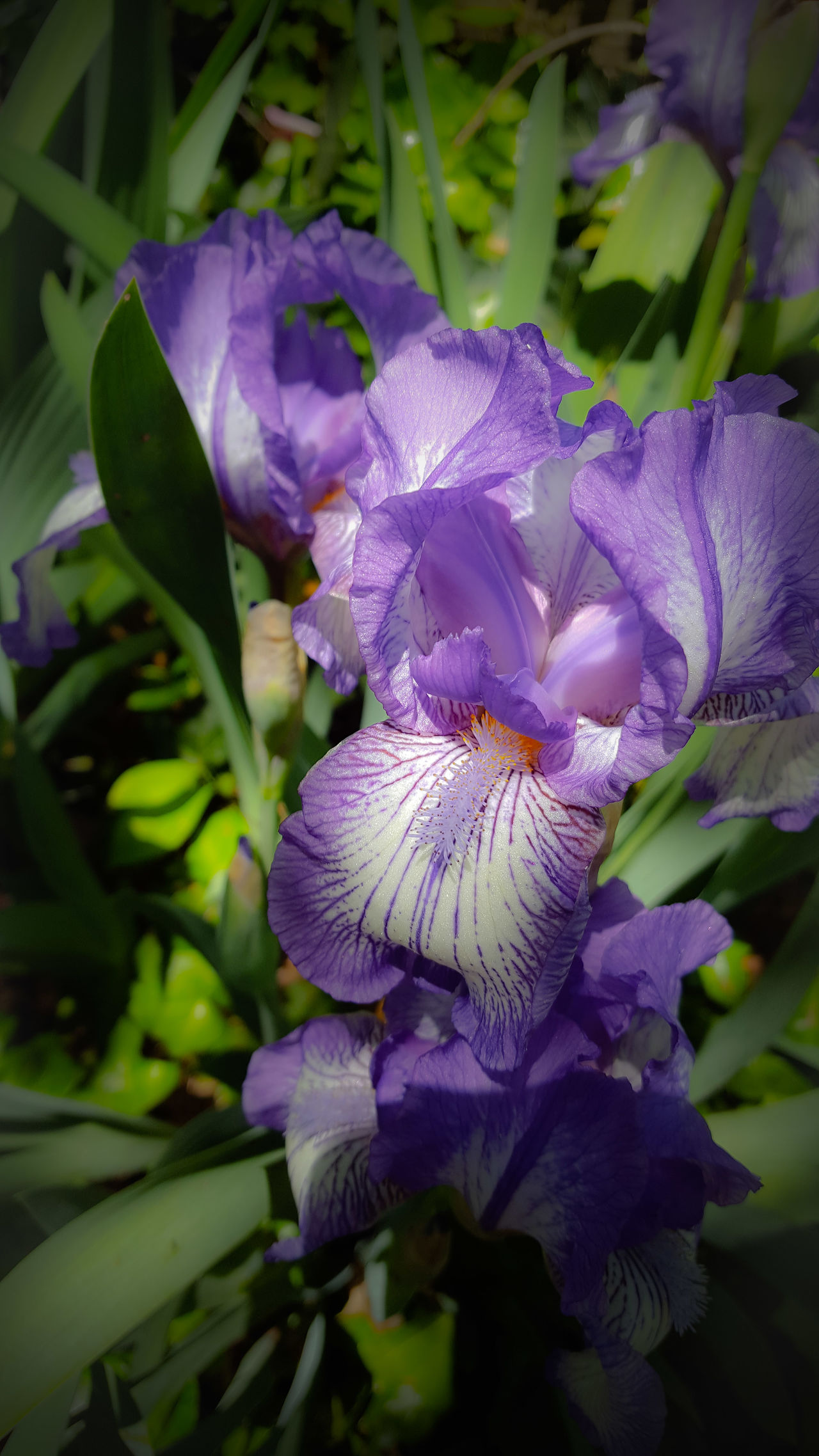 Iris Irises In The Morning Light Flower Flowers,Plants & Garden Flowers, Nature And Beauty Purple Flower Purple And White All Things Beautiful All Things Purple Garden Photography