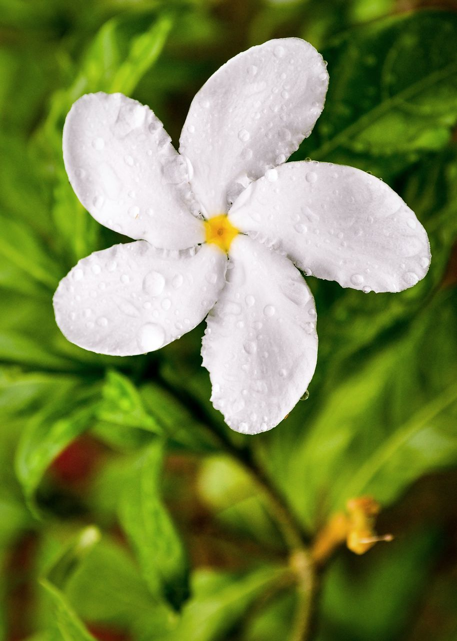 nature, drop, water, petal, beauty in nature, growth, flower, wet, white color, freshness, fragility, no people, day, close-up, plant, flower head, outdoors, blooming, periwinkle