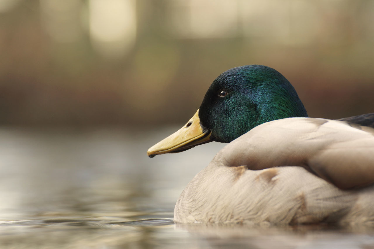 Male Mallard Animal In The City Animal In The Wild Animal Portrait Animal Themes Beak Bird Bird Photography Detail Duck Floating Floating On Waer Germany HEAD Lake Mallard Mallard Duck Profile Relaxed Smile Smiling Swimming Water Water Birds Water Fowl Worm's Eye View