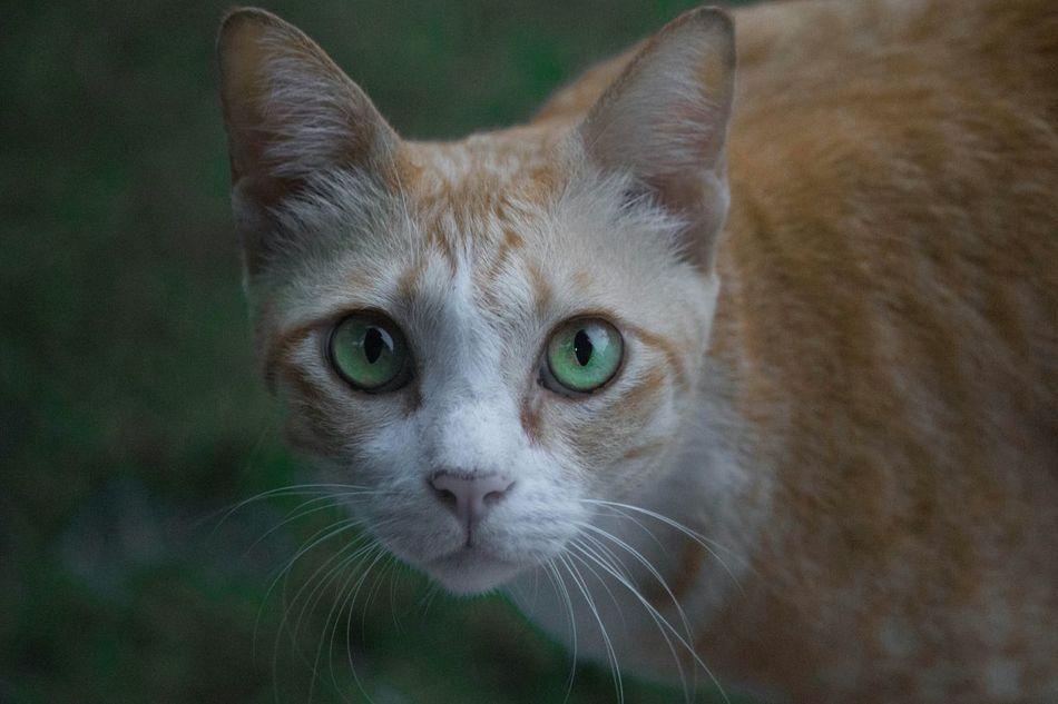 Beautiful stock photos of eyes, Alertness, Animal Eye, Animal Themes, Cat
